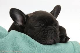 french bulldog puppies sleeping. Delighful Sleeping Dark Brindle French Bulldog Pup Bacchus 9 Weeks Old Sleeping White  Background And Puppies Sleeping