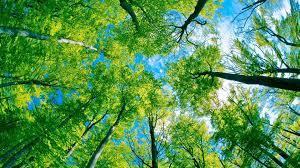 Green Forest Tree Canopy Desktop Wallpaper