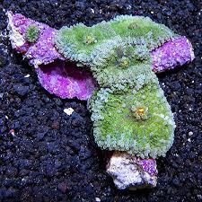<b>Green</b> Ricordea <b>Mushroom</b> Coral   LiveAquaria