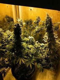 1st grow in my garage auto northern lights in grow box under 400w hps 5 35 oz harvest