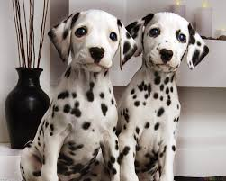 Από πού πήρε το όνομά του ο σκύλος Δαλματίας;