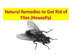 How to Get Rid of Flies in the House Naturally How to Kill