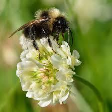 Trifolium repens - Wikipedia