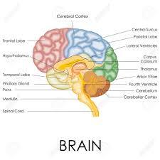 Anatomy Of Human Brain Ppt - Geoface #0F4005E5578E