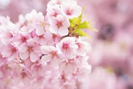 Bunga Sakura Cherry Blossom Tokyo Tawarkan Wisatawan Berendam Di Bunga Sakura