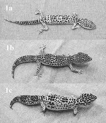 Leopard Gecko Age Chart Leopard Geckos With Different Body Condition Scores Bcs A