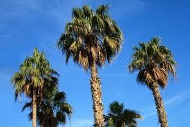 fan palm trees. palm trees of california. california fan palm trees