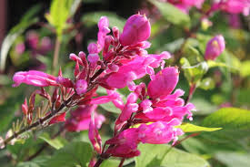 Image result for salvia involucrata bethellii