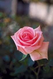 Beautiful Rose Flowers 图片和图片s ...
