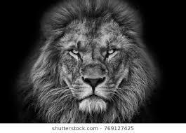 black and white lion portrait. Perfect Black Lion Portrait Black And White With Background Inside Black And White Lion Portrait E