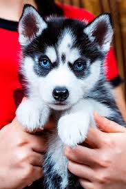 husky puppies for sale. Plain Puppies Siberian Husky Puppies For Sale In Illinois W