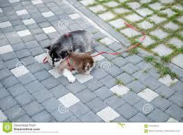 portrait of a siberian husky puppy walking in the yard little cute puppy of siberian
