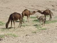 نتيجه تصويري براي شتر در روستاي گورزين