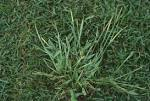 Images & Illustrations of crabgrass