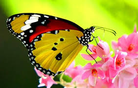 Resultado de imagem para fotos de borboletas
