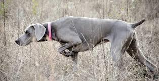 weimaraner weimaraner is a german dog breed