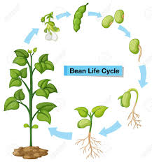 Image result for plant life cycles clipart