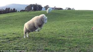 bruce the sheep goes in for a header as he practices rugby with tuscany mcdonald in