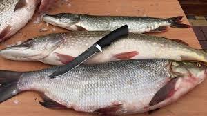 Обзор <b>рыбацкого ножа</b> Осетр на разделке рыбы. Ножевая ...