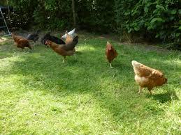 Kitchen Garden Hens Hen Keeping A Neverimitate