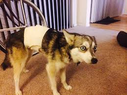 stop dog from licking wound.  Dog Needed To Cover Up A Wound On My Dogu0027s Back So She Couldnu0027t Lick It She  Didnu0027t Move From This Position For 10 Minutes In Stop Dog From Licking Wound L