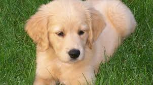 cute golden retriever puppies for sale. Interesting For Retriever Puppy Pictures Miniature Golden Cute To Puppies For Sale I
