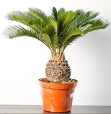 this exquisite plant sago palm is one of the favorites of landscapers usually dogs don t find it attractive but if your dog is the exception and has a