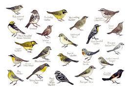 Warbler Id Chart Warblers Field Guide Art Print Watercolor Painting Wall