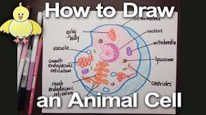 animal cell project poster. Contemporary Cell How To Draw An Animal Cell Diagram Homework Help  DoodleDrawArt  YouTube To Project Poster