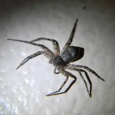 Michigan Spiders Usa Spiders