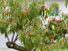A Guide To Patio Fruit Trees  Love The GardenFruiting Trees