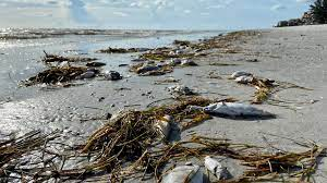 Red Tide Rages Along Florida's Gulf ...