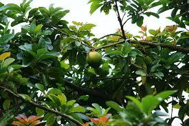 Jamaican Fruits  YouTubeJamaican Fruit Trees