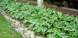 grow hostas in your yard or garden