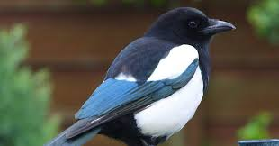 Small Picture Magpie Symbolism A message Spirit Animal Totems