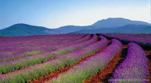 """lavender  gold coast""的图片搜索结果"