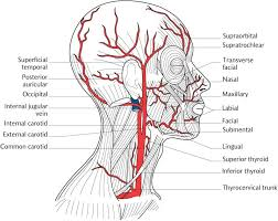 arteries of the face 23 the face and superficial neck pocket dentistry