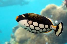 clown triggerfish. Unique Triggerfish Clown Triggerfish Are Beautifully Coloured Fish For Triggerfish W