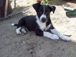 jack russell terrier border collie mix.  Terrier Images Border Collie Cross Jack Russell Terrier  Border Collie Jack  Russell Mix For Terrier E