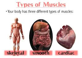Image result for types of muscles images