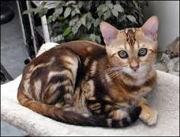 Cat Colors And Patterns Gorgeous Cat Coat Colors Patterns Bengal Cats Colors And Patterns Of The