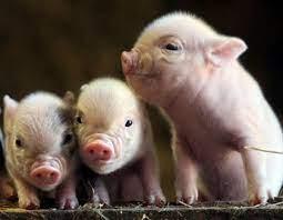 Free download BABY PIGS WALLPAPER 49754 ...