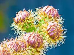 Image result for Prickly Pear Bud Six Jigsaw Puzzle