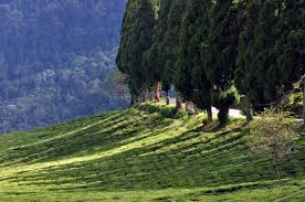 File Temi Tea Garden Sikkim India October 2013 Jpg Wikimedia Commons