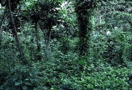 shade grown coffee plantation. Simple Grown With Shade Grown Coffee Plantation Wikipedia