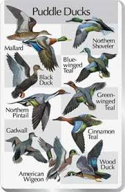 Waterfowl Identification Chart Google Search Waterfowl