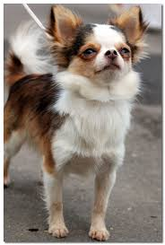 Chihuahua Lifespan Average Life Expectancy Of The Chihuahua