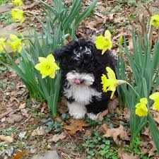 Small Picture Havanese Color and Markings EL MORRO HAVANESE