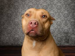 red pitbull terrier puppy. Interesting Red Pit Bull Dog Breed Pictures Intended Red Pitbull Terrier Puppy B