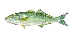 Coastal Carolina Guide Service List Of Nc Fish Species